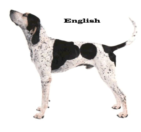english coonhound shape
