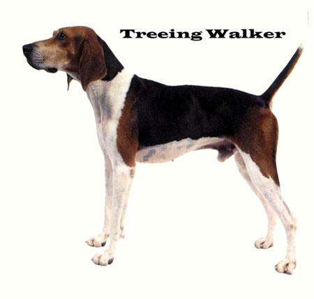 树丛浣熊猎犬(treeing walker coonhound)